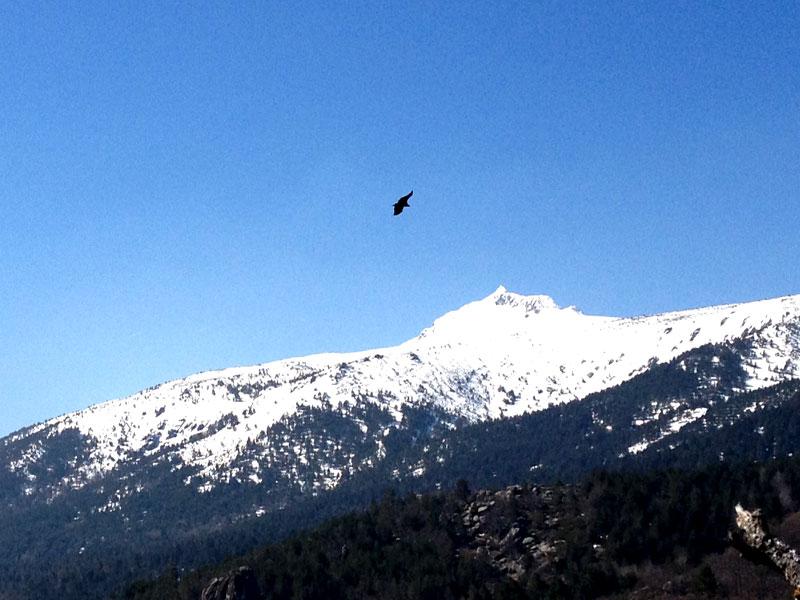 Buitre volando sobre Peñalara